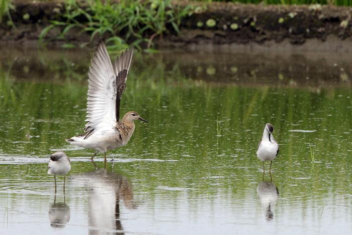 休耕田で渡りの立ち寄りの鳥たち(エリマキシギと・コアオアシシギ)_f0239515_17483094.jpg