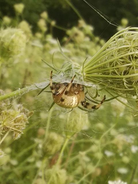 キバナオニグモが我が家の庭に…_b0025008_16485995.jpg