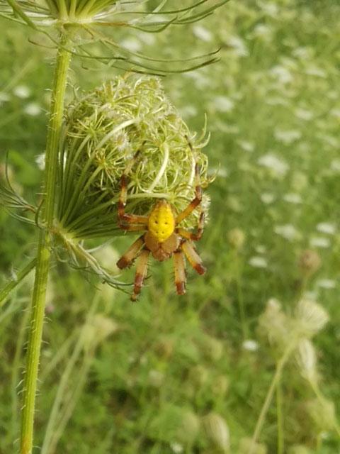 キバナオニグモが我が家の庭に…_b0025008_16491123.jpg