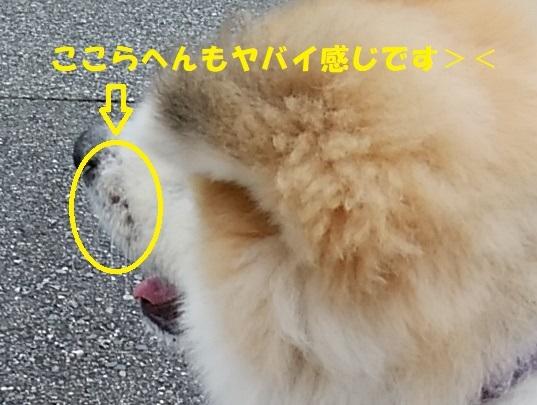 タイガのカイカイはますます悪化><_f0121712_23323559.jpg