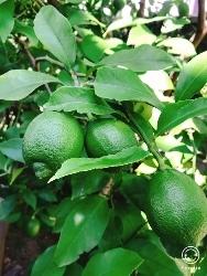 レモンの木と真蛸のピラフ_a0059035_14403960.jpg