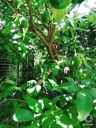 レモンの木と真蛸のピラフ_a0059035_14404337.jpg