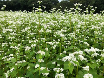 ソバの花満開♪_f0019247_223441.jpg