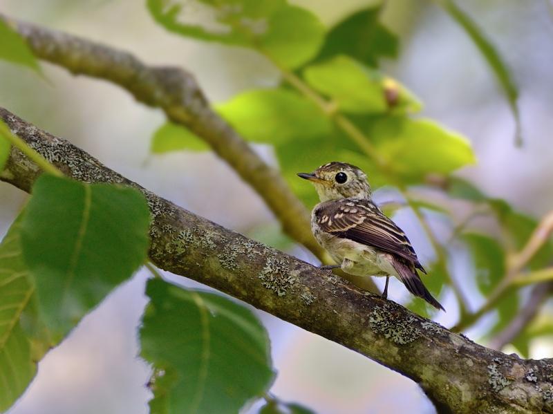 山麓のコサメビタキ幼鳥_a0204089_20352417.jpg