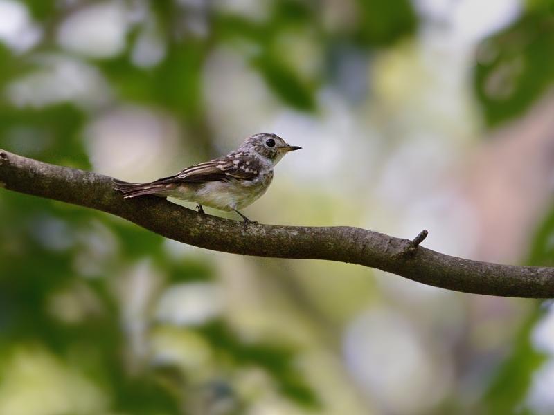 山麓のコサメビタキ幼鳥_a0204089_20353219.jpg