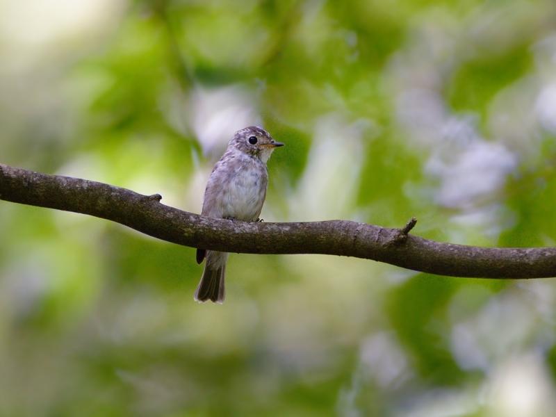 山麓のコサメビタキ幼鳥_a0204089_20354777.jpg