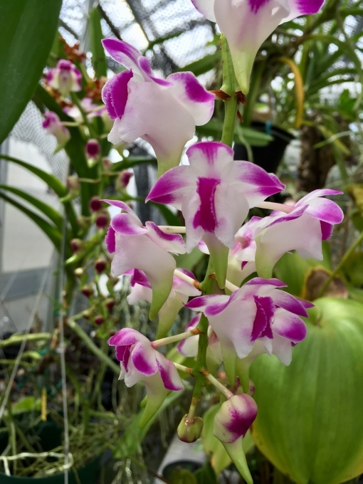奥川奪三振ショー;Aerides.lawrenceae_d0007501_14094823.jpeg