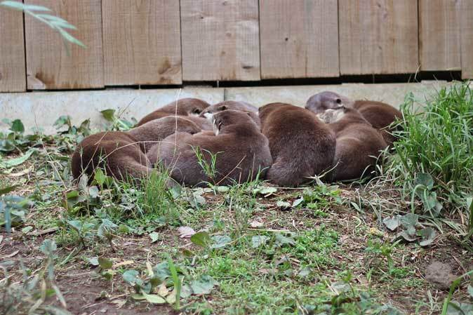 命名!コツメカワウソの六つ子たち(埼玉県こども動物自然公園)_b0355317_22422303.jpg