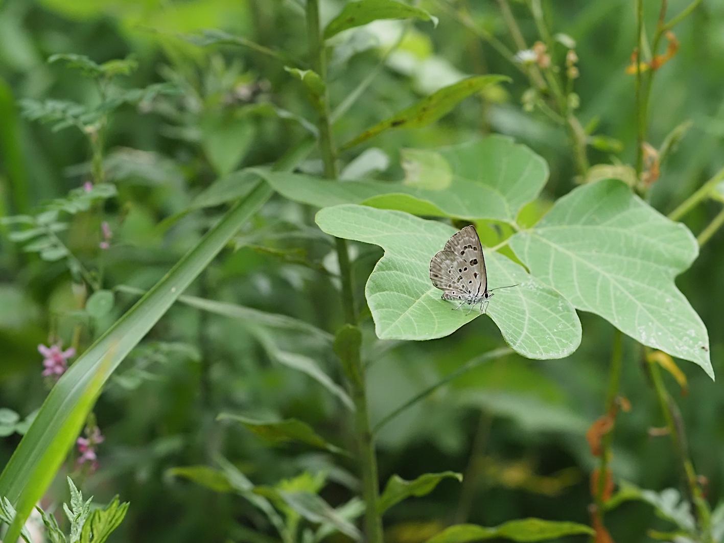 クロシジミ&クロシジミの幼虫(2019年8月27日)_d0303129_4234676.jpg