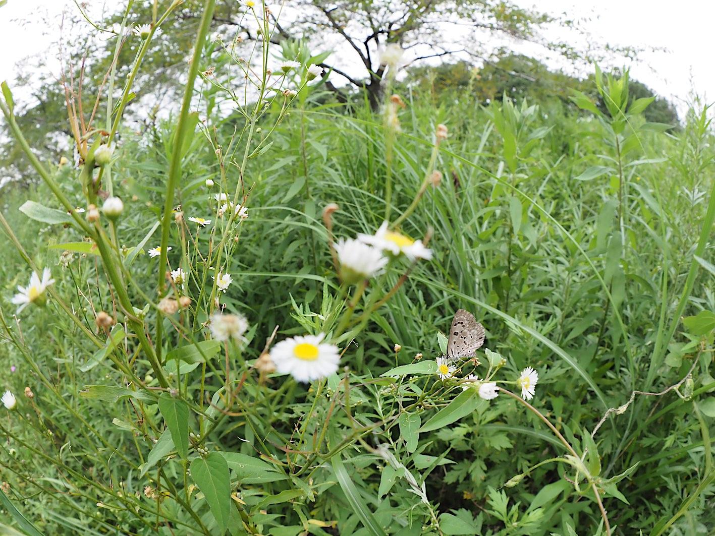 クロシジミ&クロシジミの幼虫(2019年8月27日)_d0303129_424195.jpg