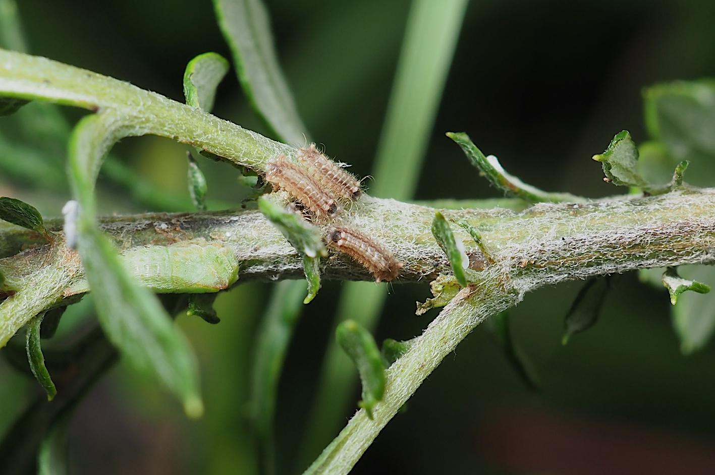 クロシジミ&クロシジミの幼虫(2019年8月27日)_d0303129_4251246.jpg