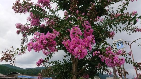 ようやく「サルスベリの木」の花がきれいになってきました❣_e0020051_13440319.jpg