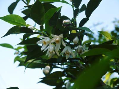 香り高き柚子(ゆず)令和元年度の香り高き『青柚子』販売スタート!柚子こしょうを手作りしませんか!_a0254656_17523912.jpg