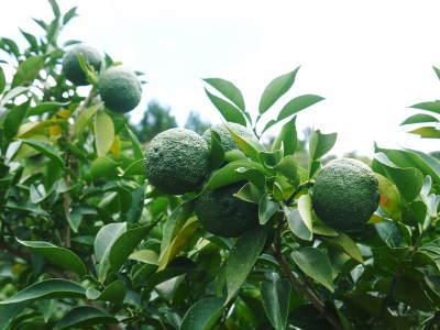 香り高き柚子(ゆず)令和元年度の香り高き『青柚子』販売スタート!柚子こしょうを手作りしませんか!_a0254656_17560491.jpg