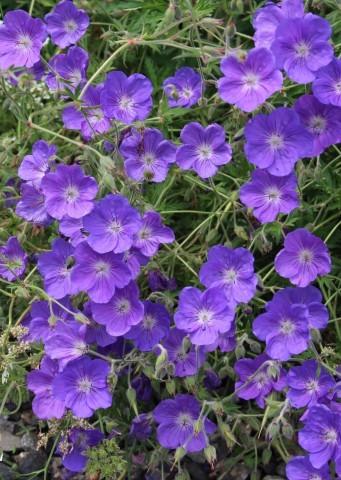 青い花ばかり&乳がん検診_e0341606_19204074.jpg
