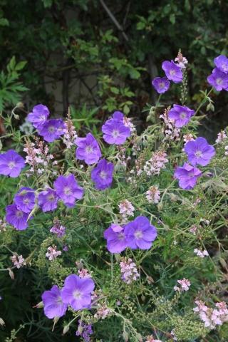 青い花ばかり&乳がん検診_e0341606_19205324.jpg