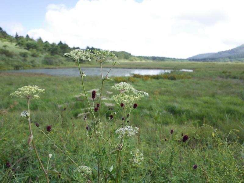 霧ヶ峰 八島ヶ原湿原の植物 1_e0276411_19085964.jpg