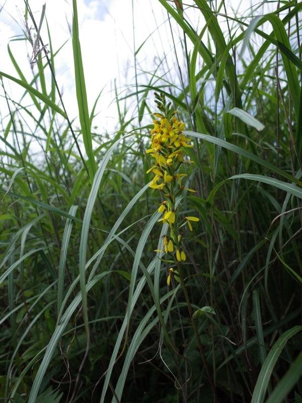 霧ヶ峰 八島ヶ原湿原の植物 1_e0276411_19090606.jpg