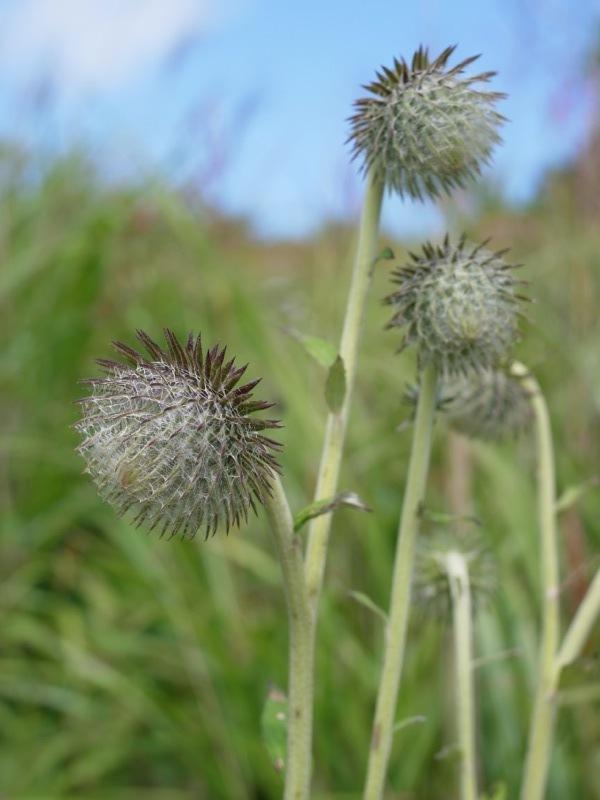 霧ヶ峰 八島ヶ原湿原の植物 1_e0276411_19091492.jpg