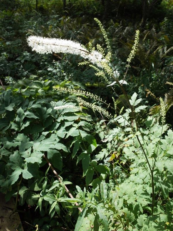 霧ヶ峰 八島ヶ原湿原の植物 1_e0276411_19093232.jpg