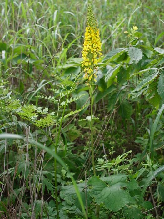 霧ヶ峰 八島ヶ原湿原の植物 1_e0276411_19182554.jpg
