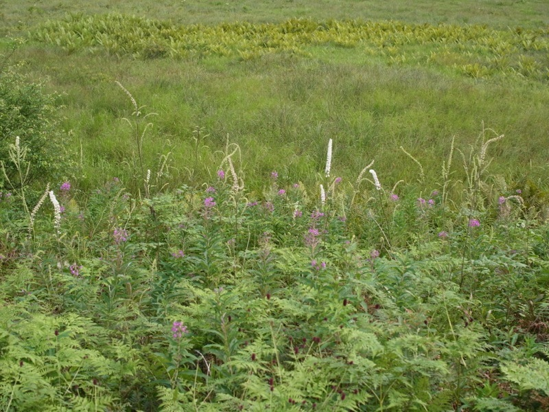 霧ヶ峰 八島ヶ原湿原の植物 2_e0276411_20091774.jpg