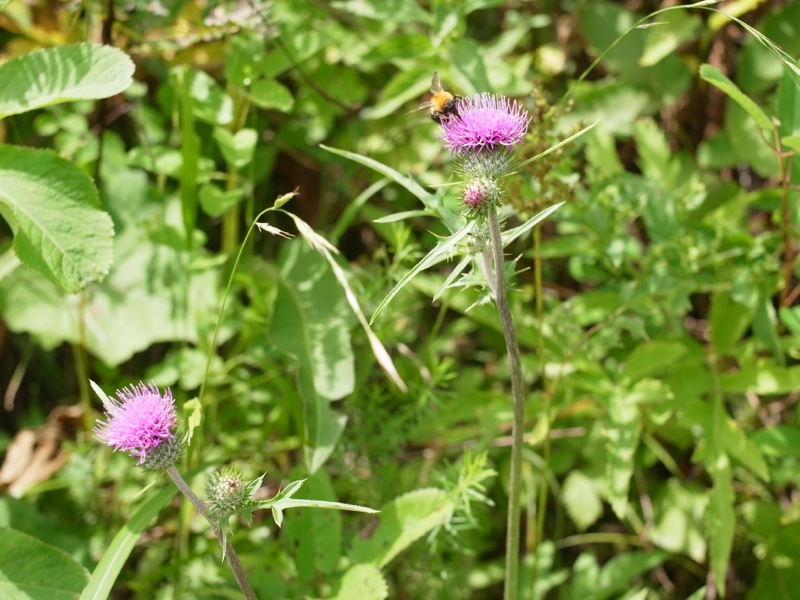 霧ヶ峰 八島ヶ原湿原の植物 2_e0276411_20092213.jpg