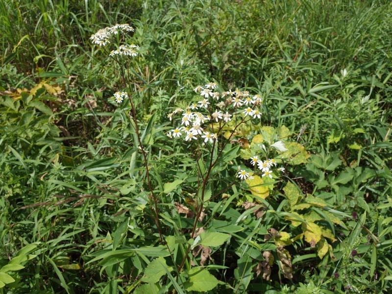 霧ヶ峰 八島ヶ原湿原の植物 2_e0276411_20094282.jpg