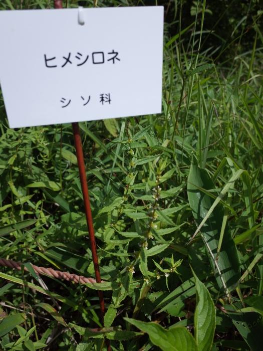 霧ヶ峰 八島ヶ原湿原の植物 2_e0276411_20165114.jpg