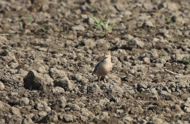 田園地帯の休耕田へ珍鳥のコモンシギが飛来_f0239515_1811119.jpg