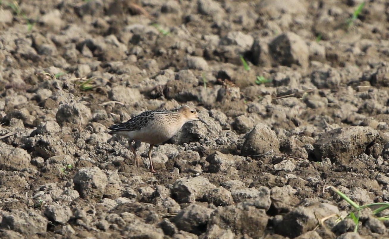 田園地帯の休耕田へ珍鳥のコモンシギが飛来_f0239515_1811553.jpg