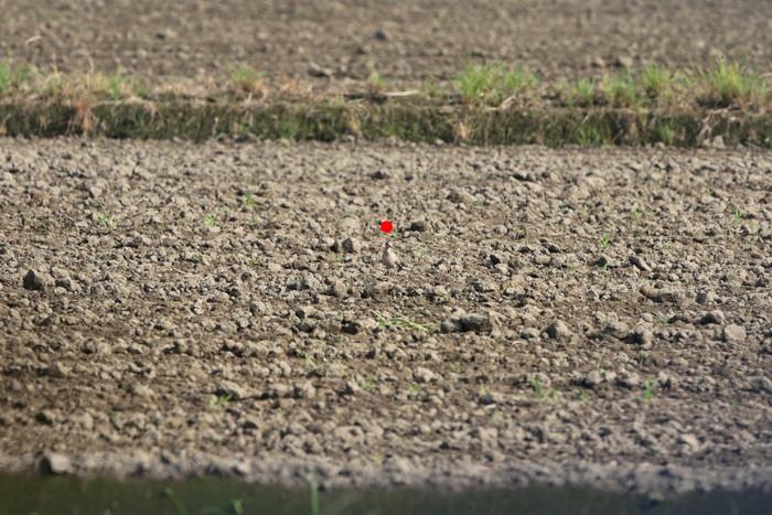 田園地帯の休耕田へ珍鳥のコモンシギが飛来_f0239515_18203418.jpg