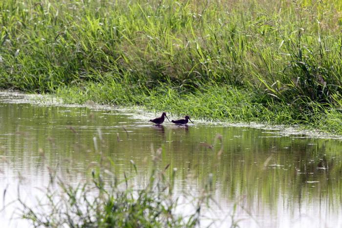 田園地帯の休耕田へ珍鳥のコモンシギが飛来_f0239515_18261622.jpg