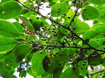 もや 秋の木の実 イネのコウジ玉_a0123836_11202639.jpg