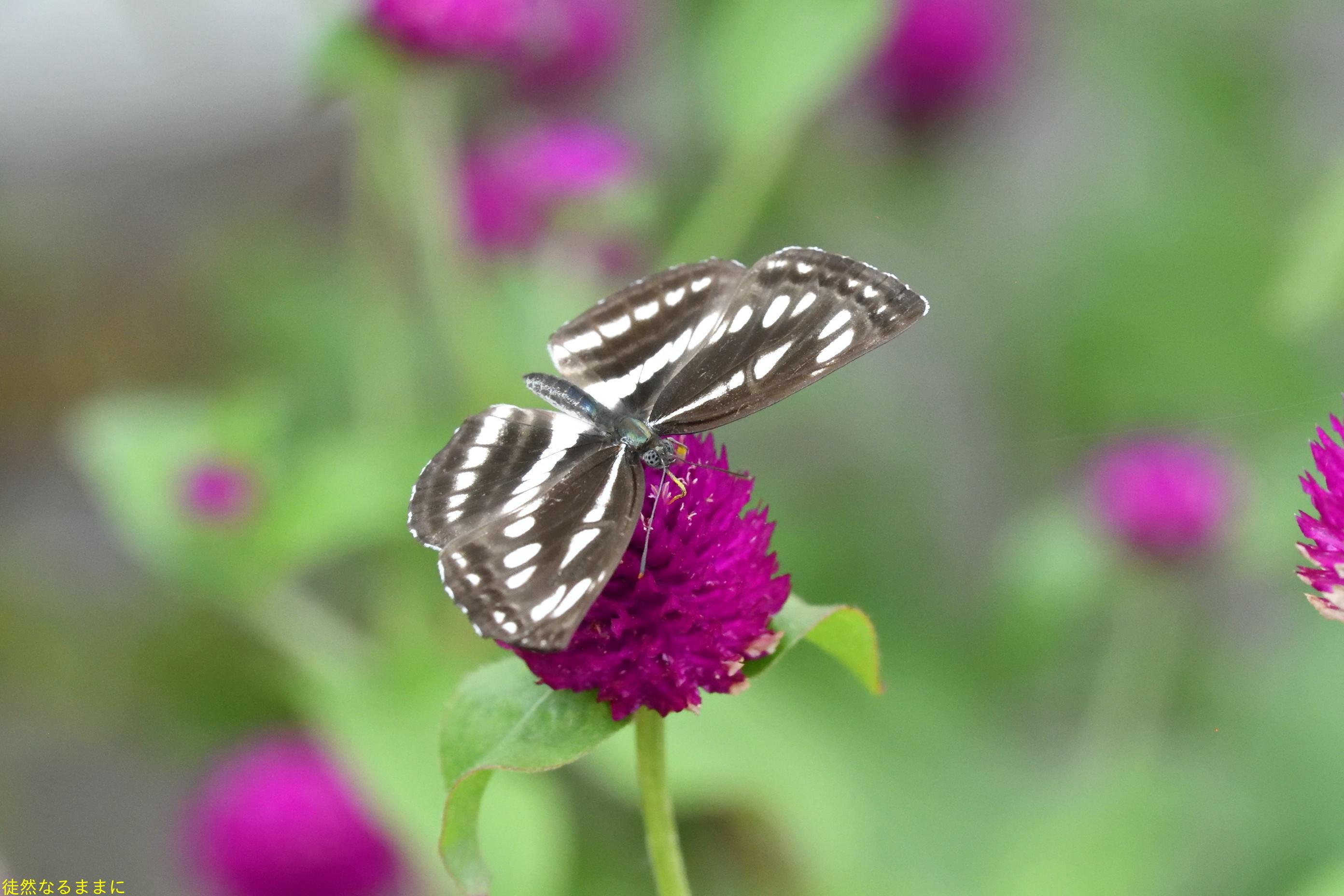 南阿蘇の蝶たち_d0285540_06252679.jpg