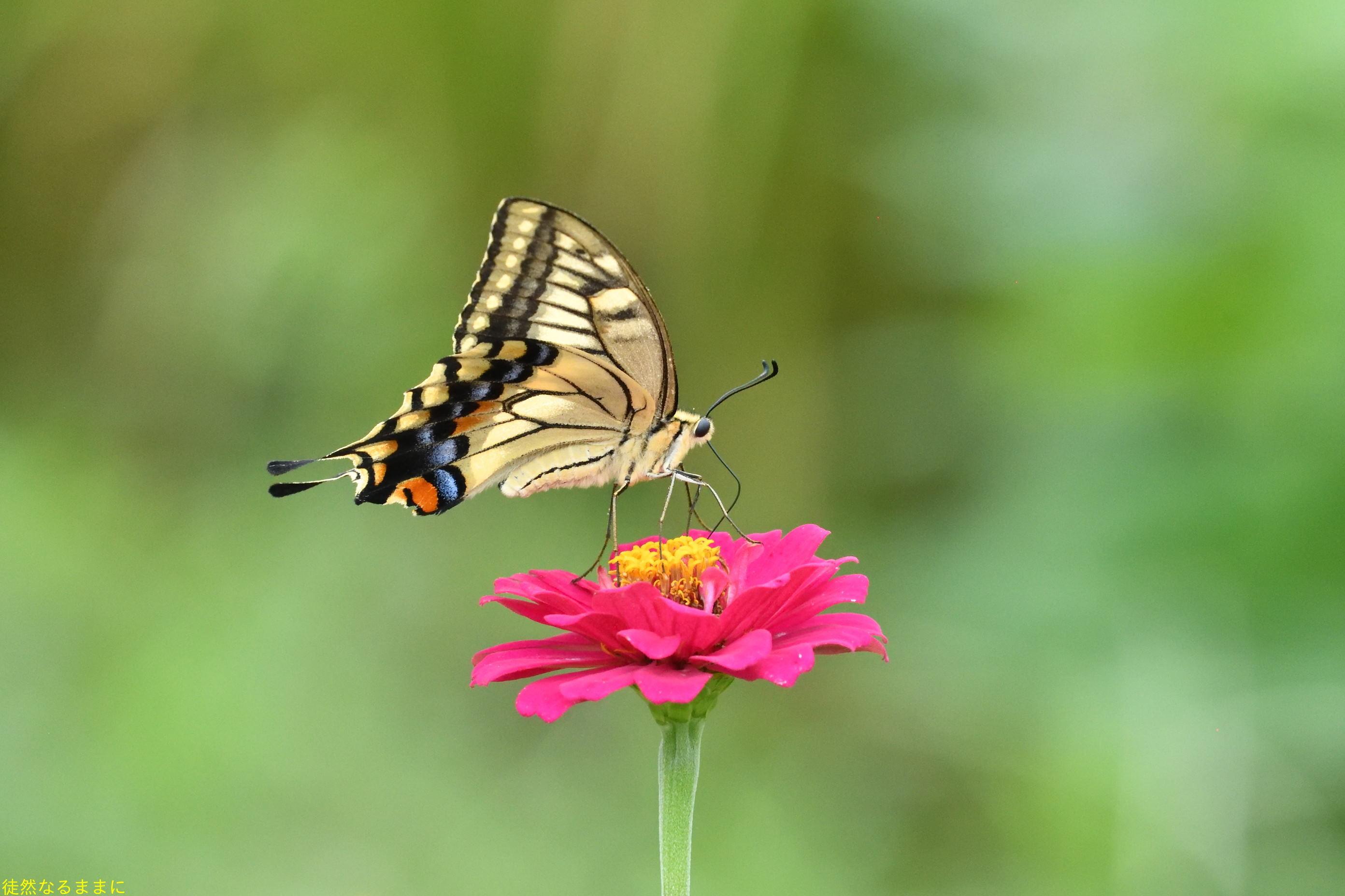 南阿蘇の蝶たち_d0285540_06252819.jpg