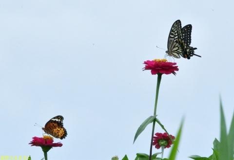 南阿蘇の蝶たち_d0285540_06253649.jpg