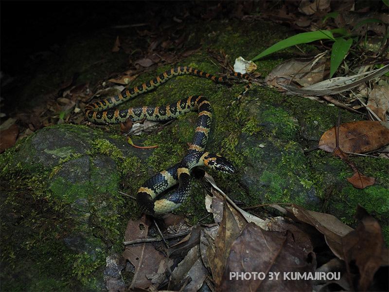 アカマタの幼蛇_b0192746_01082423.jpg