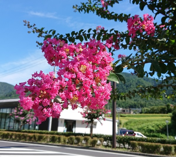 ようやく「サルスベリの木」の花がきれいになってきました❣_e0020051_12081787.jpg