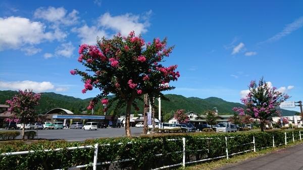 ようやく「サルスベリの木」の花がきれいになってきました❣_e0020051_12083590.jpg