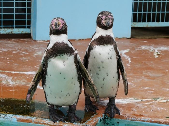フンボルトペンギン  2020-01-27 00:00  _b0093754_21402834.jpg