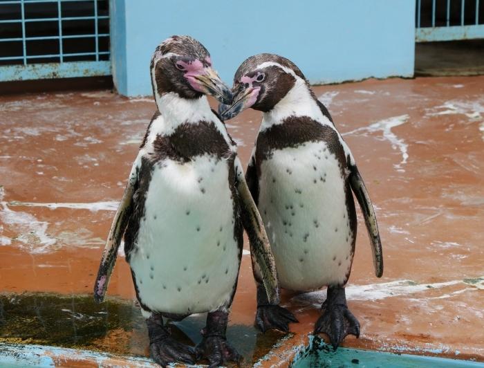 フンボルトペンギン  2020-01-27 00:00  _b0093754_21403834.jpg