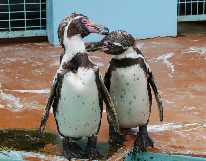 フンボルトペンギン  2020-01-27 00:00  _b0093754_21404810.jpg