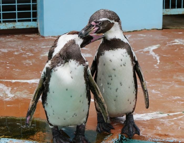 フンボルトペンギン  2020-01-27 00:00  _b0093754_21411684.jpg