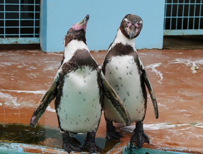 フンボルトペンギン  2020-01-27 00:00  _b0093754_21414345.jpg