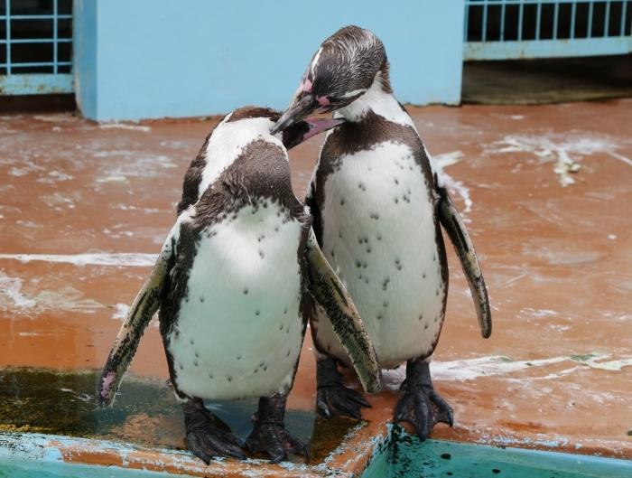 フンボルトペンギン  2020-01-27 00:00  _b0093754_21420352.jpg