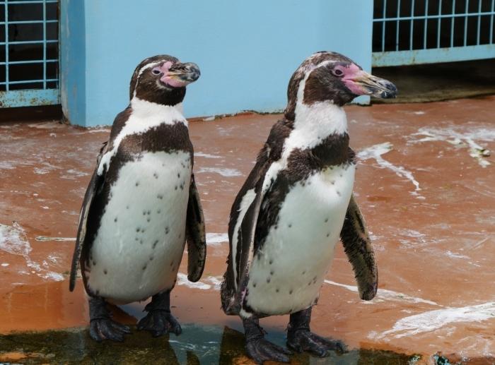 フンボルトペンギン  2020-01-27 00:00  _b0093754_21421689.jpg
