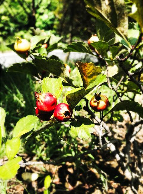 庭のサンザシ_a0342172_08132237.jpg