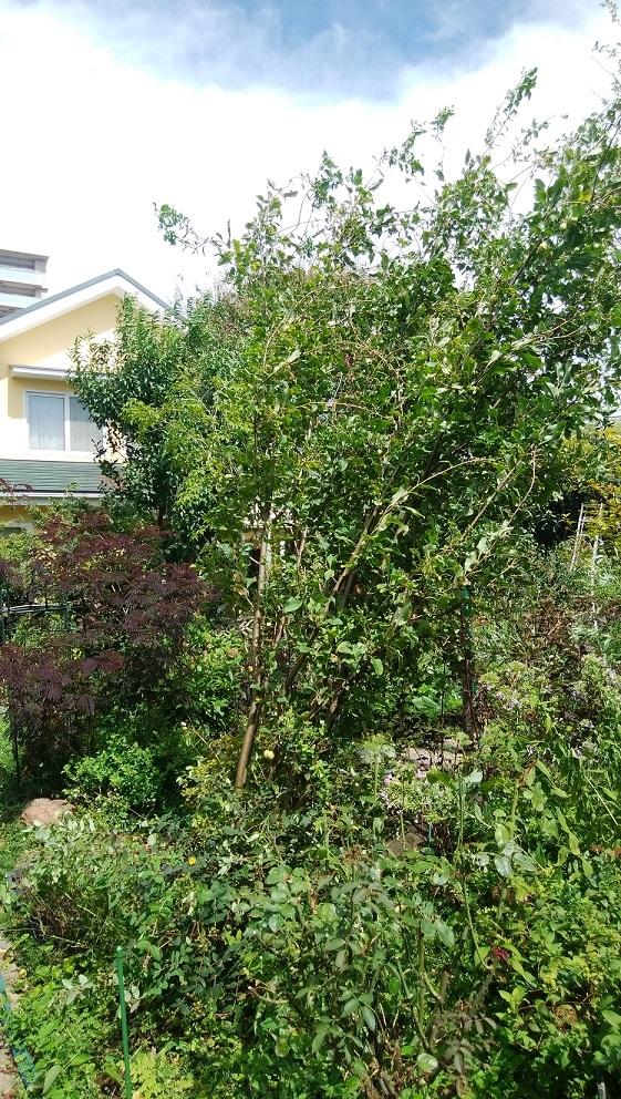 姫リンゴの木が倒れる ~台風13号~_a0107574_14581335.jpg