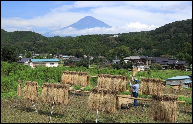 稲刈りの季節です_a0188405_14501358.jpg
